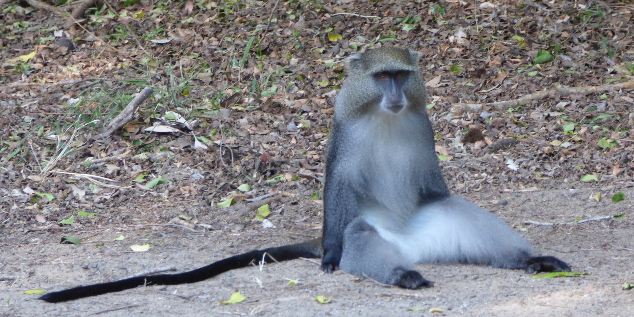 Samango Aap in Zuid Afrika
