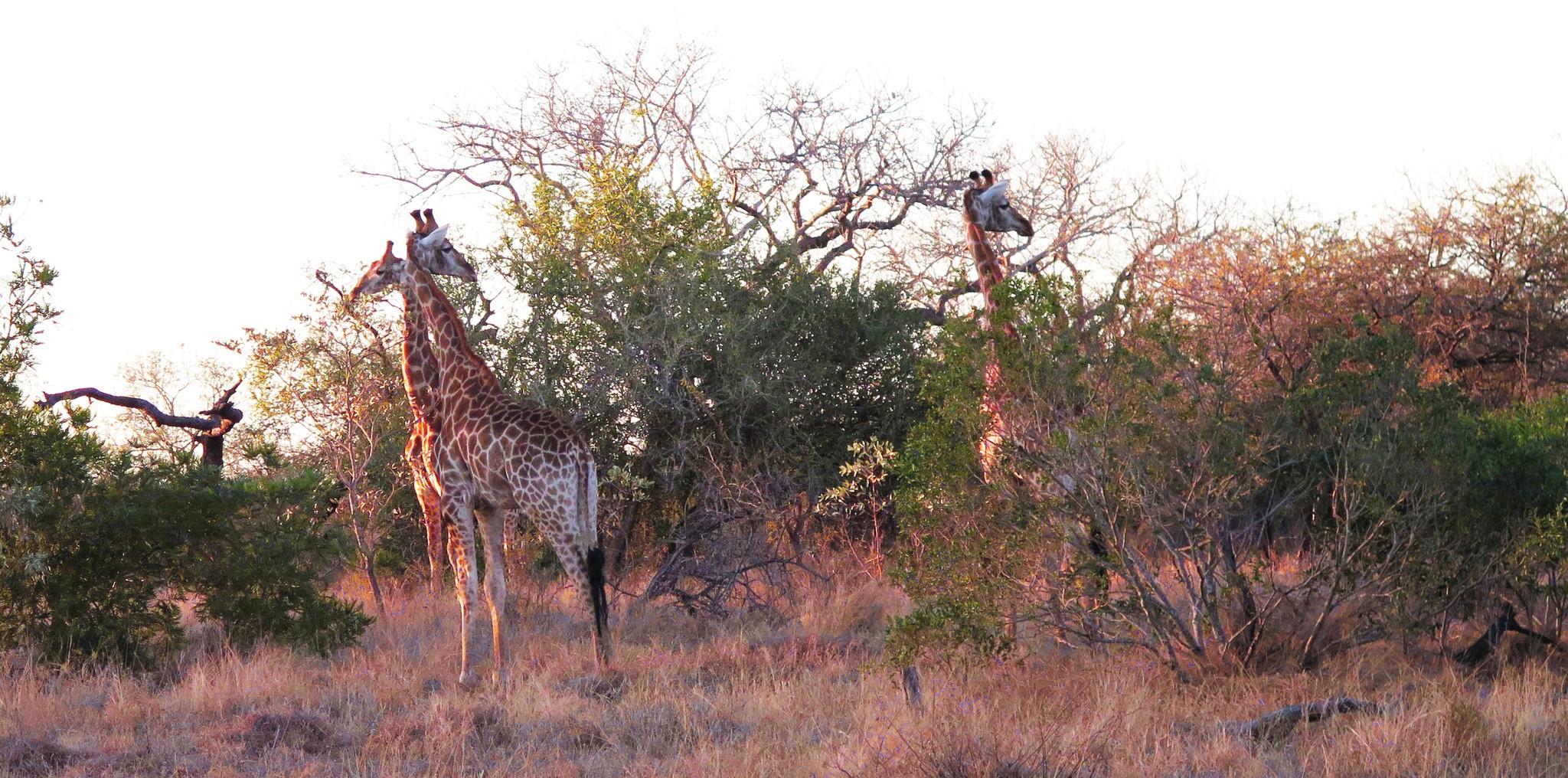 Giraffen het Krugerpark in Zuid Afrika