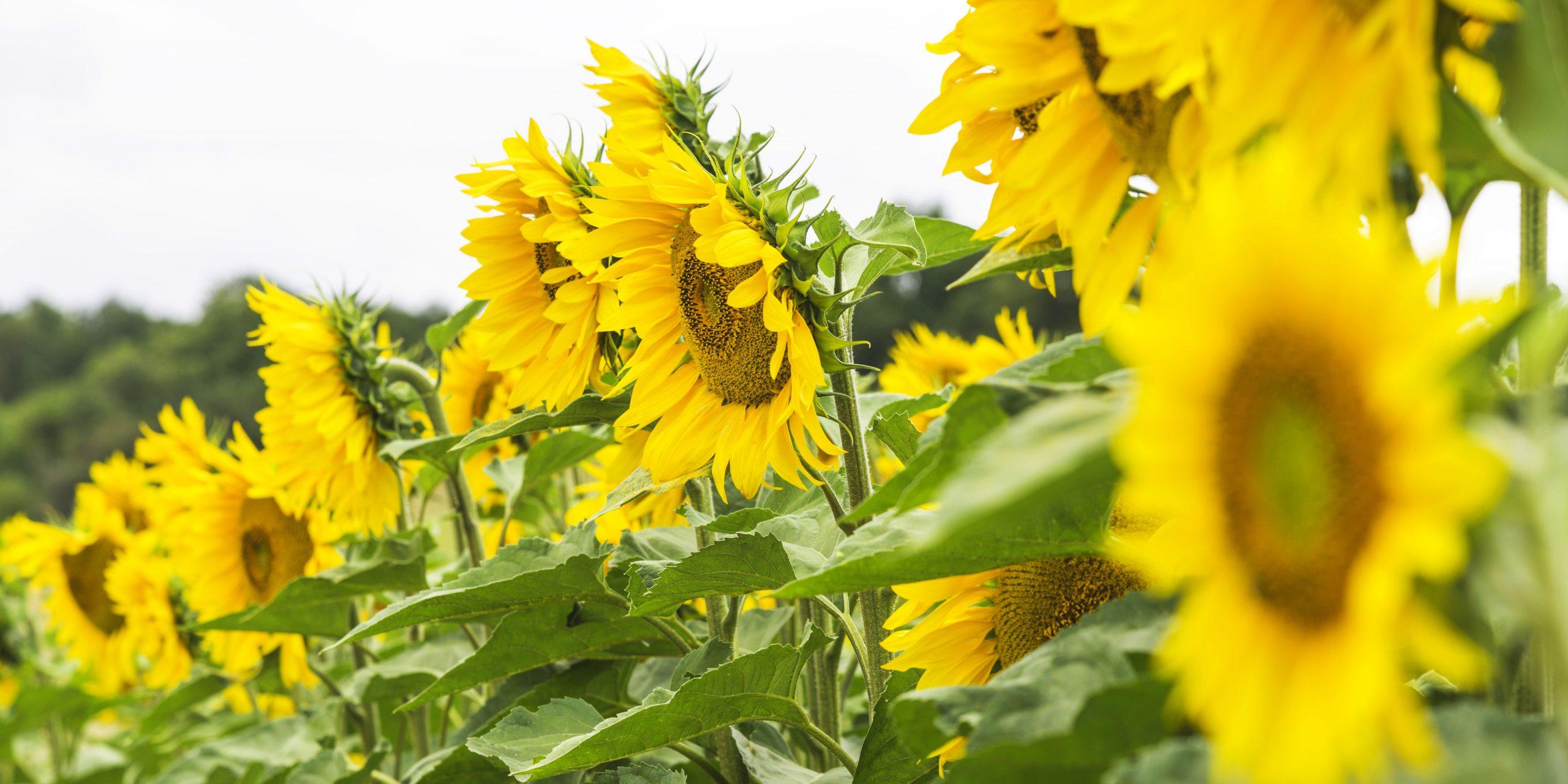 Zonnebloemen langs de Loire