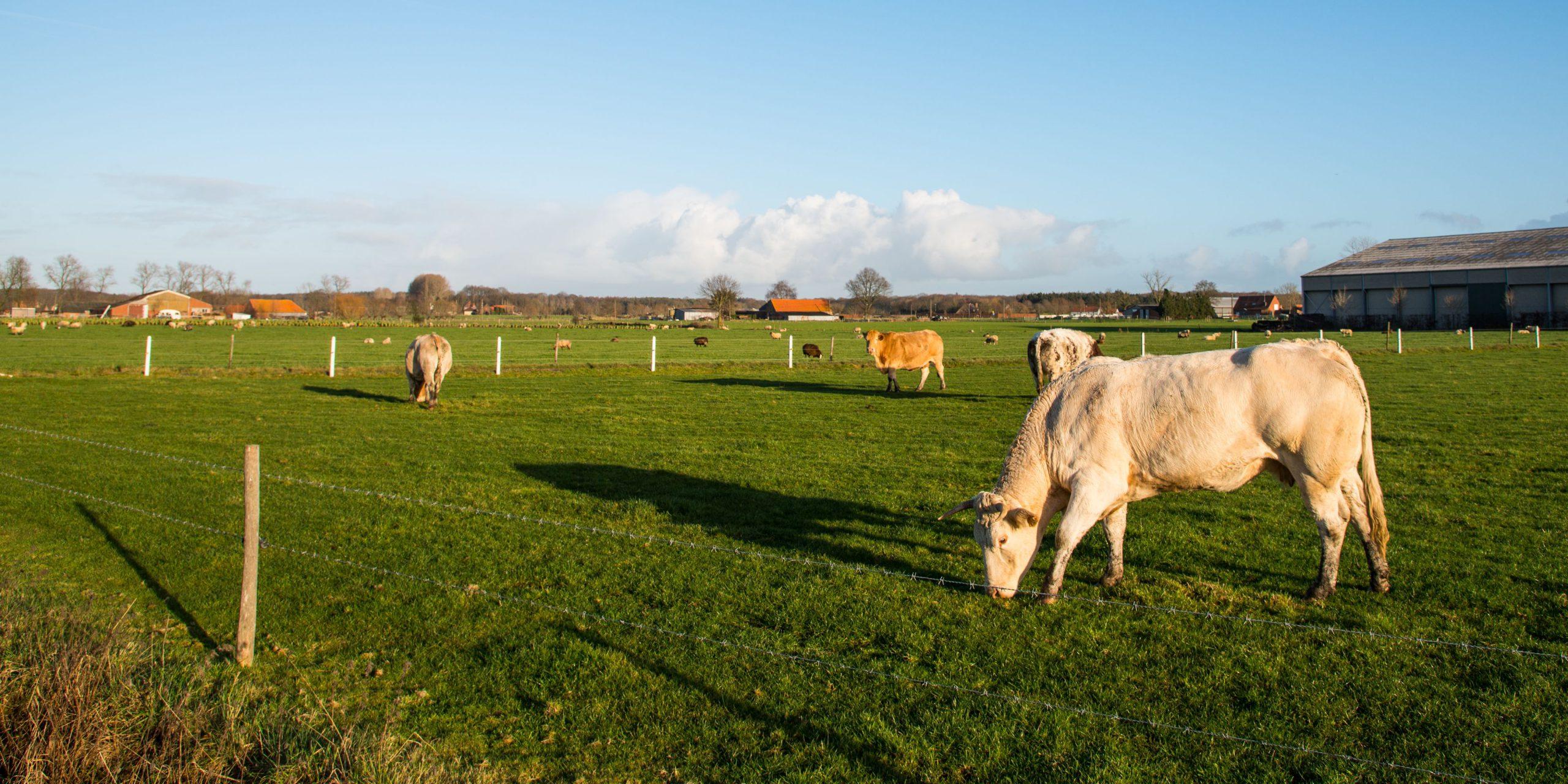 Vlaamse koeien in de weide (foto: Jozef Van Giel)